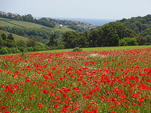 Bright red poppy field looking down to the sea. A field full of poppies looking over rolling hills to the sea royalty free stock photography