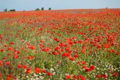 Bright red poppy field Royalty Free Stock Photos
