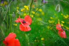 Bright red poppy in the field Royalty Free Stock Images