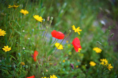 Bright red poppy in the field Royalty Free Stock Photography