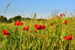 Bright red poppy flower field in summer stock images