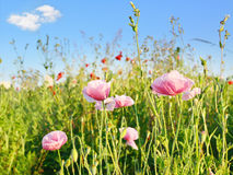 Bright red poppy flower field in summer royalty free stock photography