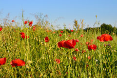 Bright red poppy flower field in summer royalty free stock image