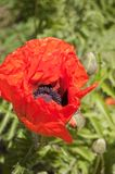 Red poppy flower on green background. Bright red poppy flower on a green background stock image