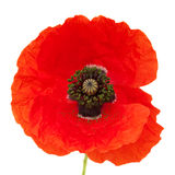 Bright red poppy Royalty Free Stock Photography