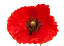 Bright red poppy Royalty Free Stock Photo