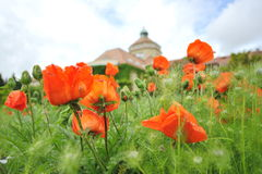 Bright red poppy flowers blooming Royalty Free Stock Photography