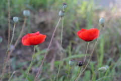 Bright red poppy flowers in spring close. Stock Images