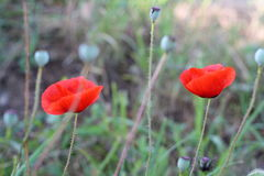 Bright red poppy flowers in spring close. Two red poppy on the field, macro shot Stock Photography