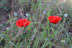 Bright red poppy flowers in spring close. Two red poppy on the field, macro shot Stock Image