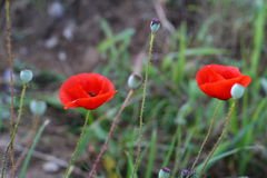 Bright red poppy flowers in spring close. Two red poppy on the field, macro shot Royalty Free Stock Photo