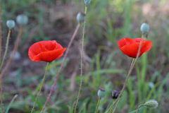 Bright red poppy flowers in spring close. Two red poppy on the field, macro shot Royalty Free Stock Image