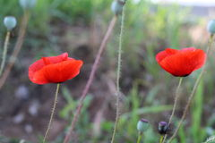Bright red poppy flowers in spring close. Two red poppy on the field, macro shot Royalty Free Stock Photos