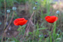 Bright red poppy flowers in spring close. Two red poppy on the field, macro shot Stock Photo