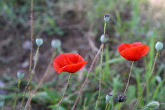 Bright red poppy flowers in spring close. Stock Photography