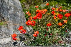 Bright red poppy flowers in summer. Stock Image