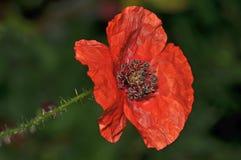 Bright red poppy in full bloom full of seeds. Close up detail of giant red poppy full of seed royalty free stock image