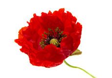 Bright red poppy. Opening flower isolated on white background stock photos