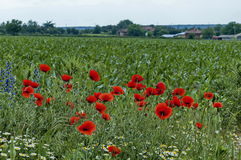 Bright red poppy or Papaver, camomile and  blue weed wildflower in the corn field near by Ostrovo village Royalty Free Stock Photography