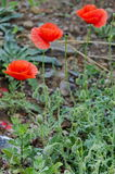 Bright red poppy or Papaver field near by, Giginski monastery Royalty Free Stock Images