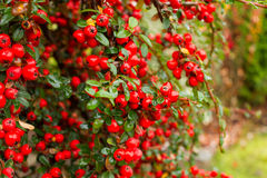 Bright red pyracantha berries, autumn garden Royalty Free Stock Photography