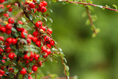 Bright red pyracantha berries, autumn garden Royalty Free Stock Image
