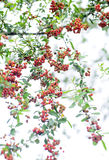 Bright red pyracantha berries Stock Images