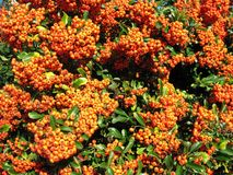Bright red pyracantha (Pyracantha coccinea). The family Rosaceae royalty free stock photography