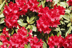 Bright Red Rhododendron Stock Photography