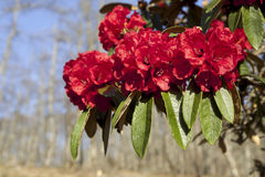 Bright Red Rhododendrons Stock Image