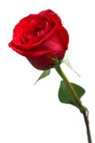 Bright red rose Stock Image