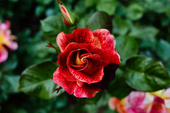 Bright red rose bloom in the garden Stock Photo