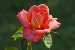 Bright red rose Stock Photos