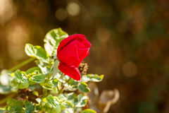 Bright red rose bud Stock Photos