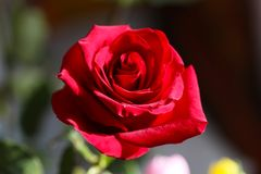 Bright Red Rose Bud Stock Images