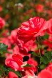 Bright red rose bush Stock Image