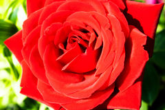Bright red rose closeup Royalty Free Stock Image