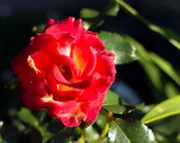 Bright red rose flower shadowed but with the beam of evening sunlight. On its petals. Glowing bright red rose, evening light, selective focus stock photography