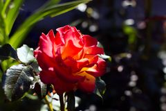 Bright red rose flower shadowed but with the beam of evening sunlight. On its petals. Glowing bright red rose, evening light, selective focus royalty free stock image