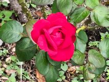 A bright red rose in green leaves, blossoming bud. Beautiful fragrant flower. stock images