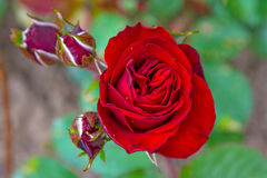 Bright red rose growing on a Green Bush, little young buds and large flower. Royalty Free Stock Image