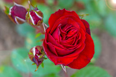 Bright red rose growing on a Green Bush, little young buds and large flower. Royalty Free Stock Images