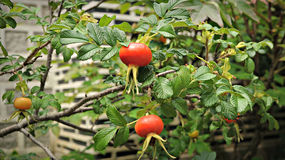Rose Hip in South Korea Royalty Free Stock Photography
