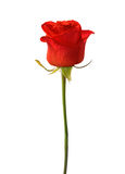 Bright red rose Royalty Free Stock Images