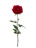 Bright red  rose Royalty Free Stock Photos