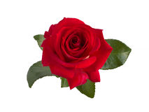Bright red  rose Stock Images
