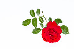Bright red rose isolated on white background Stock Image