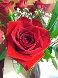 Bright Red Rose royalty free stock photo