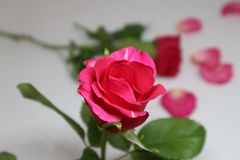 The bright red rose royalty free stock photos