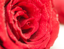 Bright red rose with water drops Stock Photos
